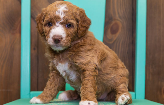 A litter of  Goldendoodles raised in Iowa by Poodles 2 Doodles