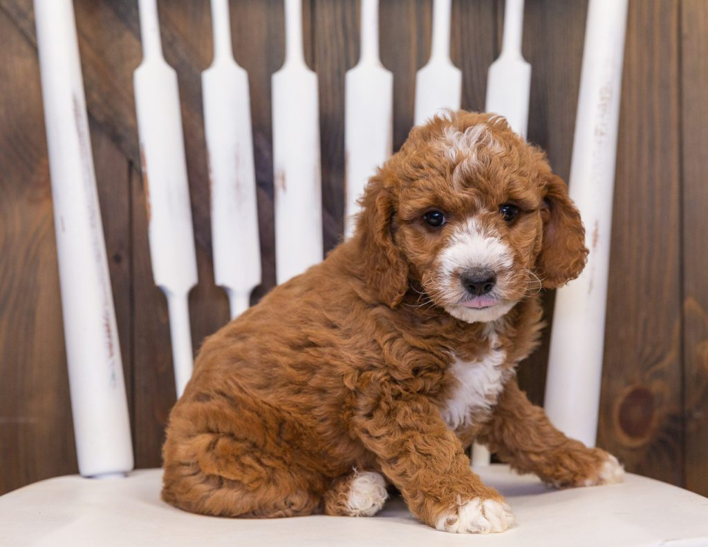 A picture of a Voda, one of our Mini Goldendoodles puppies that went to their home in Nebraska