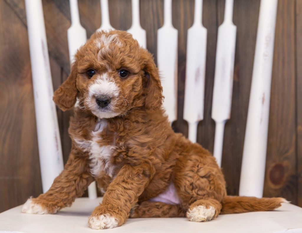 Voda is an F1B Goldendoodle that should have  and is currently living in Nebraska
