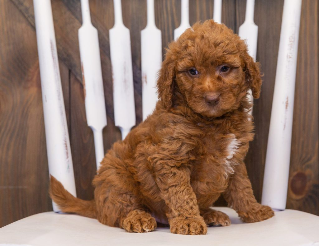 A picture of a Volt, one of our Mini Goldendoodles puppies that went to their home in Wisconsin