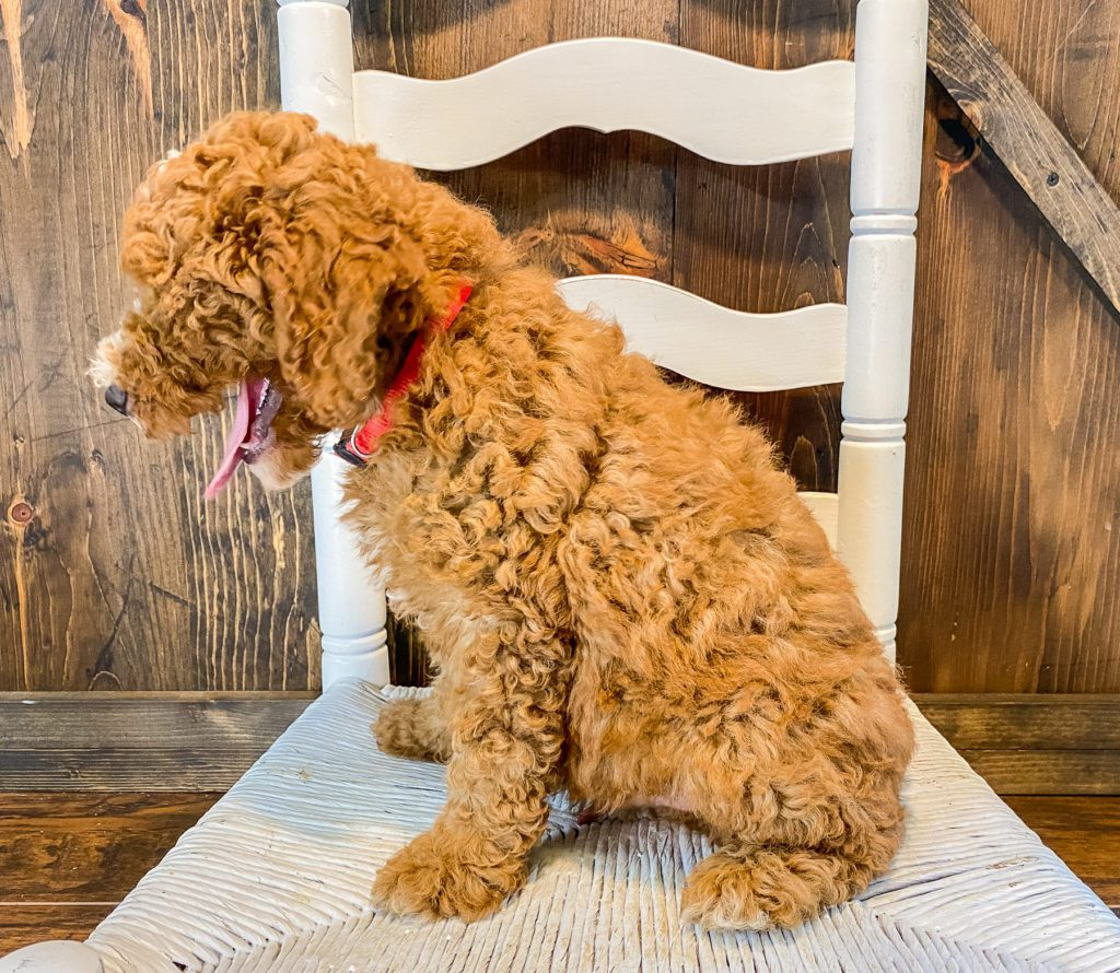 Waldo is an F1BB Goldendoodle.