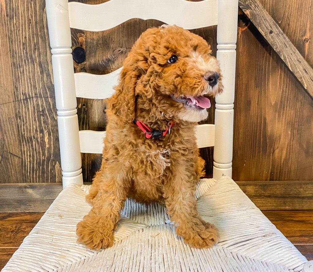 Waldo came from Cora and Toby's litter of F1BB Goldendoodles