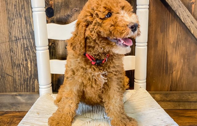 A litter of Mini Goldendoodles raised in Iowa by Poodles 2 Doodles