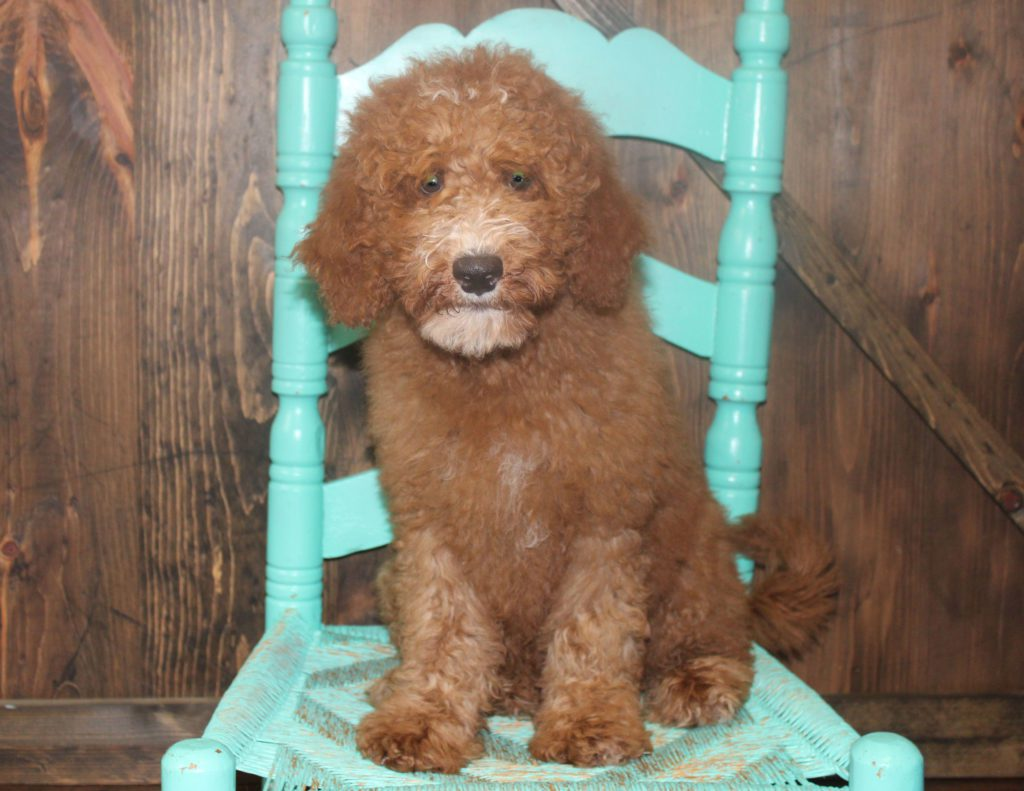A picture of a Waldo, one of our Mini Goldendoodles for sale