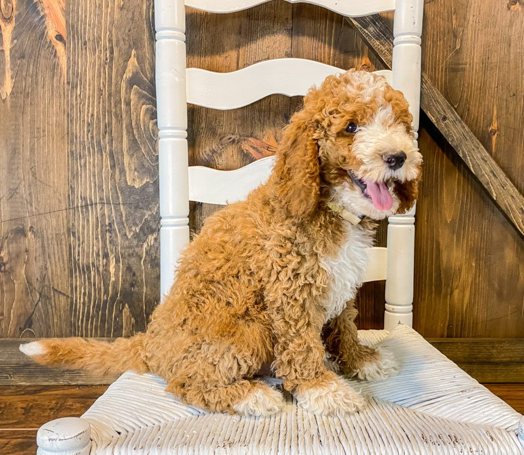 A picture of a Wally, one of our Mini Goldendoodles puppies that went to their home in California