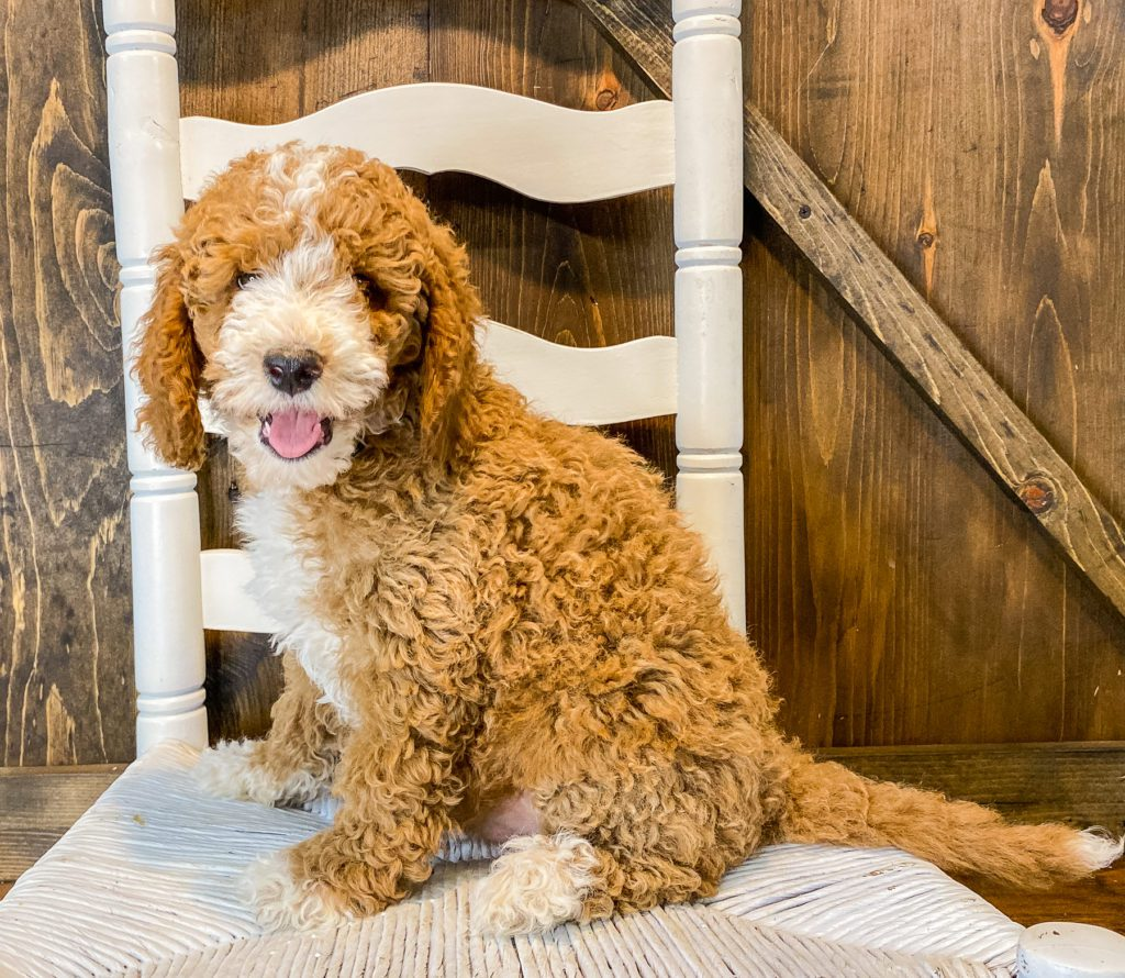 Wally is an F1BB Goldendoodle that should have  and is currently living in California