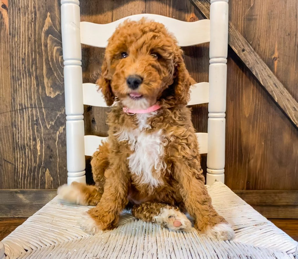 """Want to learn more about Goldendoodles? Check out our blog post titled """"The New Dog Breed Everyone Seems to Want"""""""