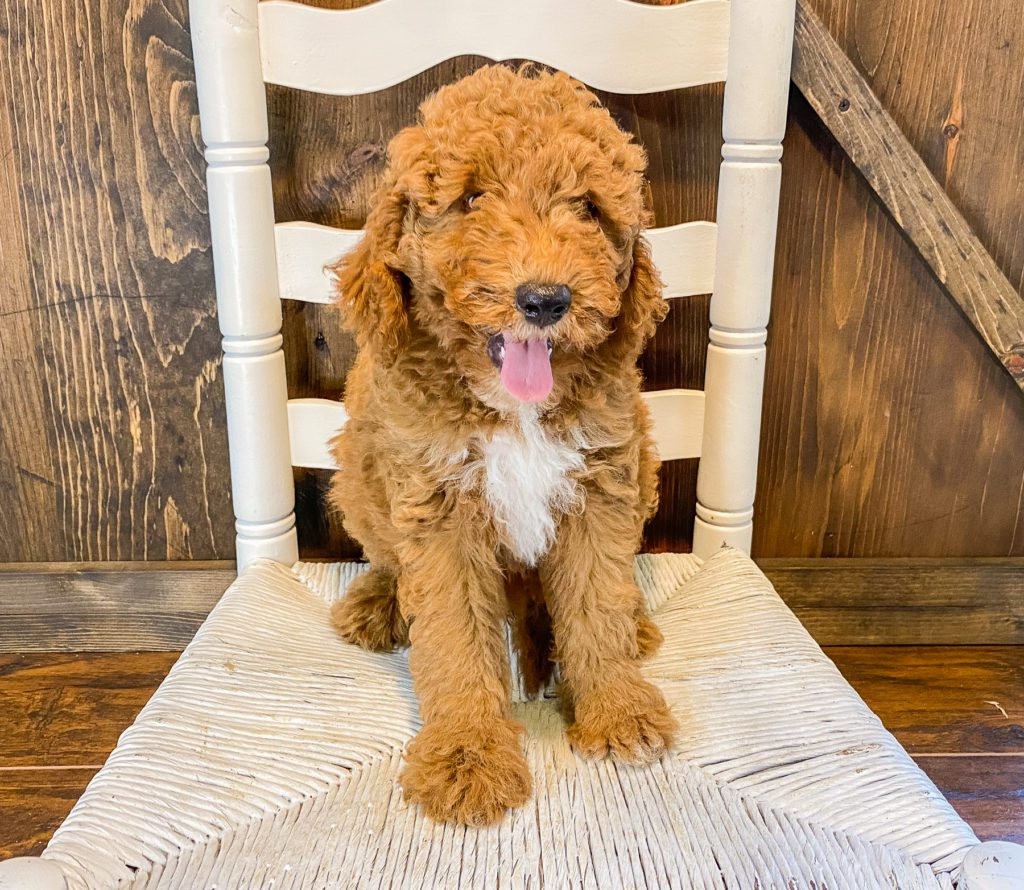 Webber came from Cora and Toby's litter of F1BB Goldendoodles