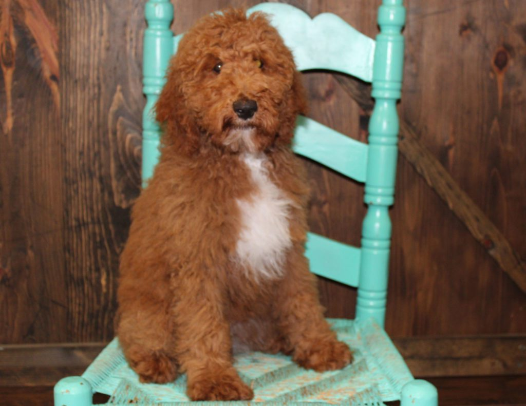 A picture of a Webber, one of our Mini Goldendoodles for sale