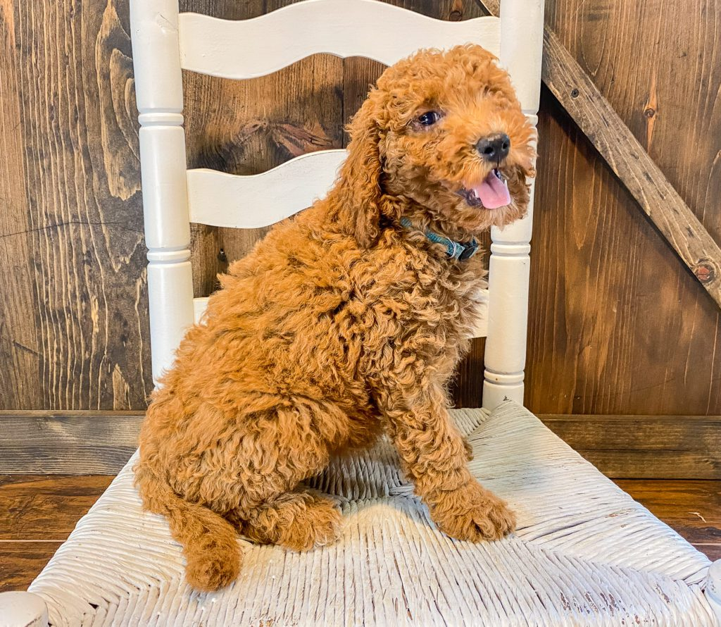 A picture of a Wendy, one of our Mini Goldendoodles for sale