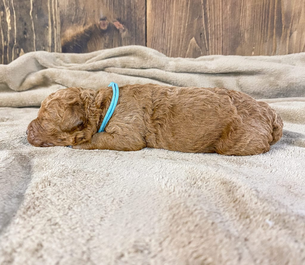 Wendy is an F1BB Goldendoodle.