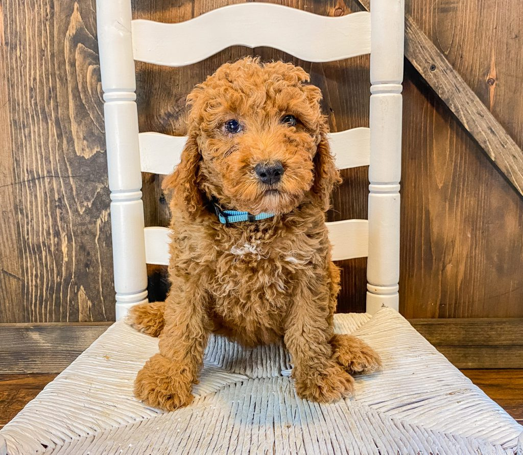 Wendy came from Cora and Toby's litter of F1BB Goldendoodles