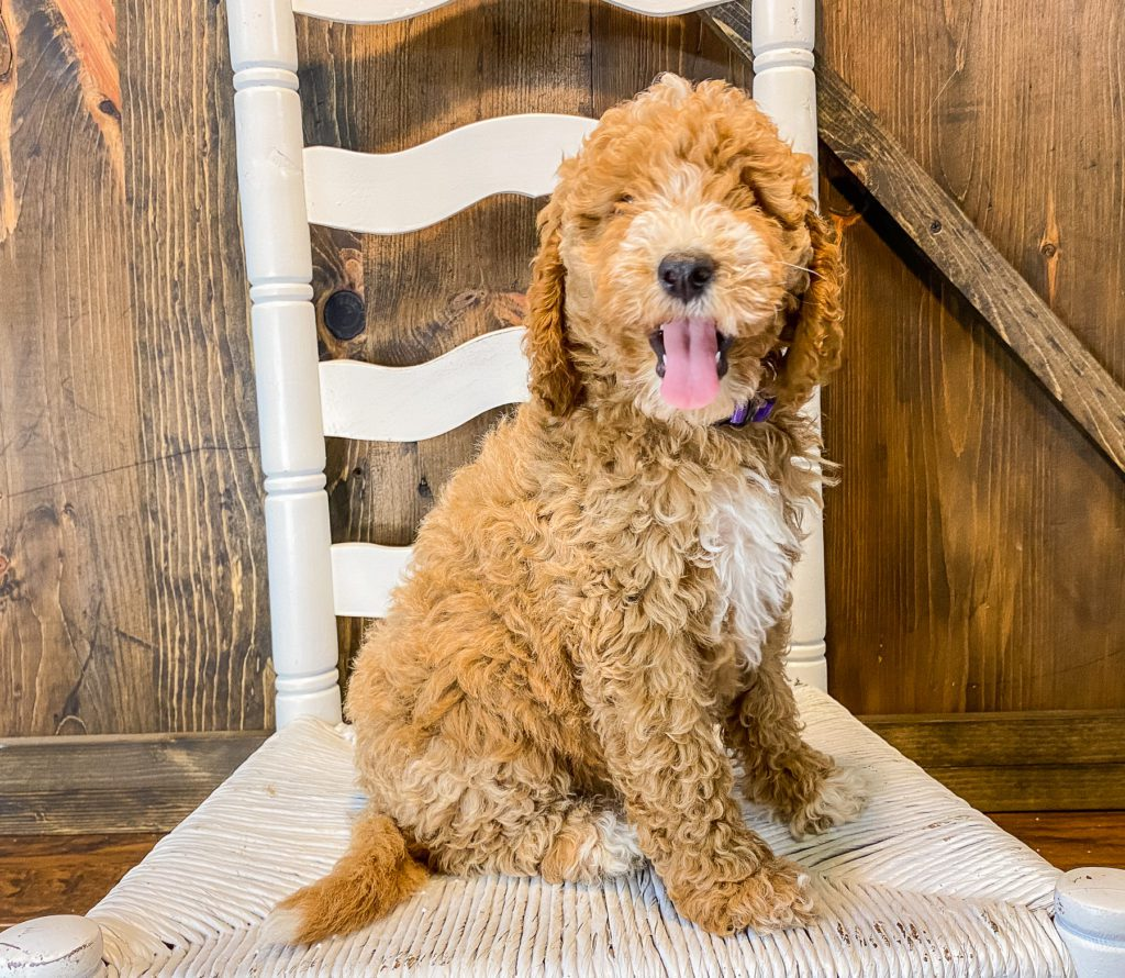 A picture of a Willow, one of our Mini Goldendoodles puppies that went to their home in Missouri