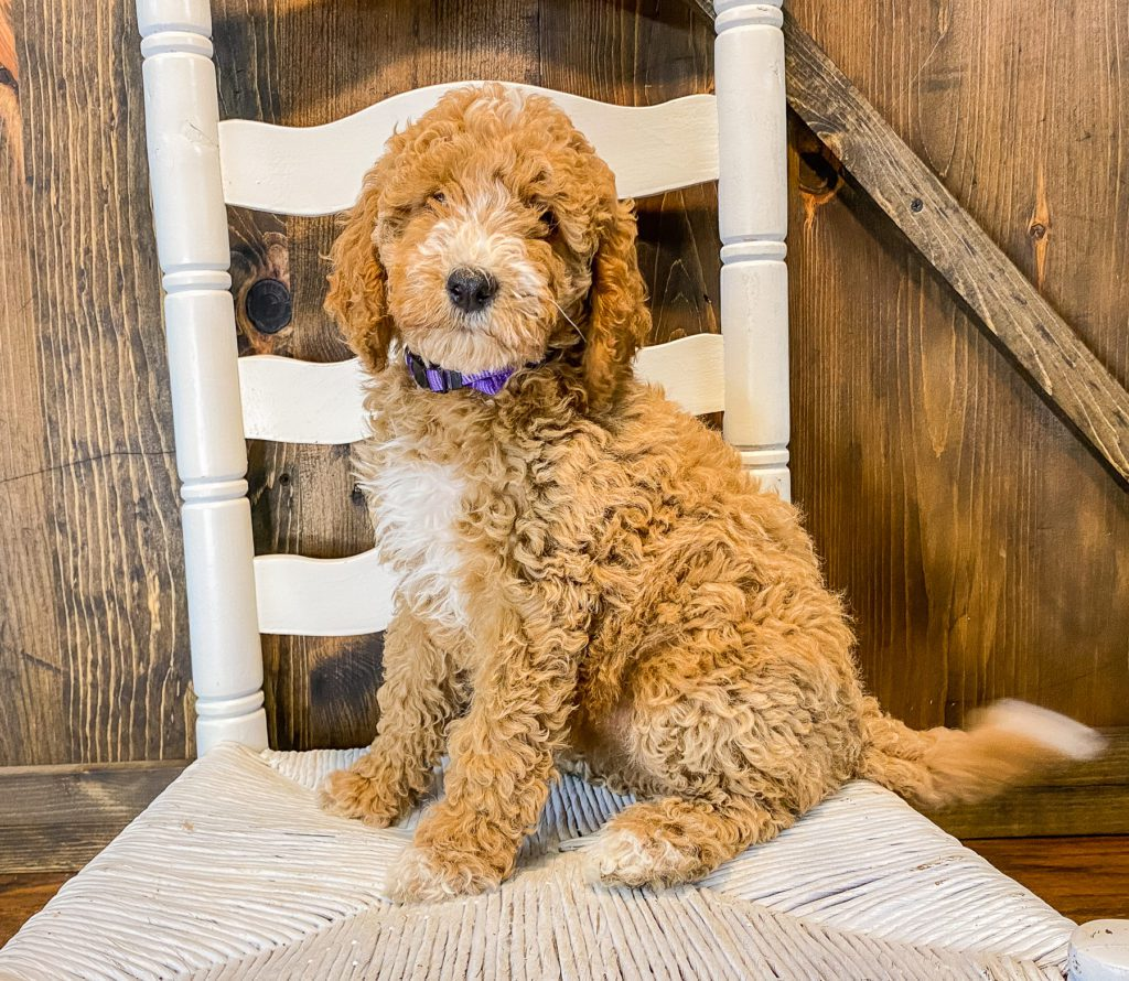 Willow is an F1BB Goldendoodle that should have  and is currently living in Missouri