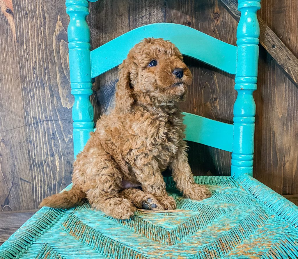 A picture of a Wilson, one of our Mini Goldendoodles puppies that went to their home in Missouri