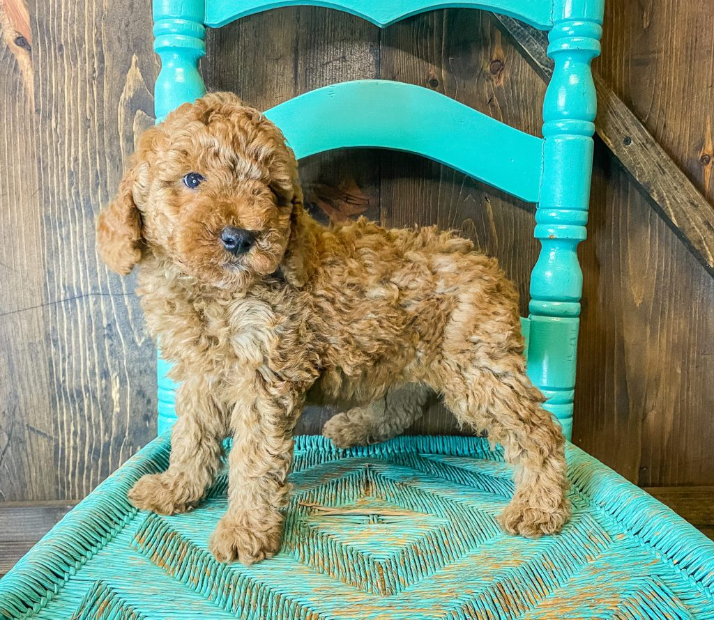 Wilson is an F1BB Goldendoodle that should have  and is currently living in Missouri