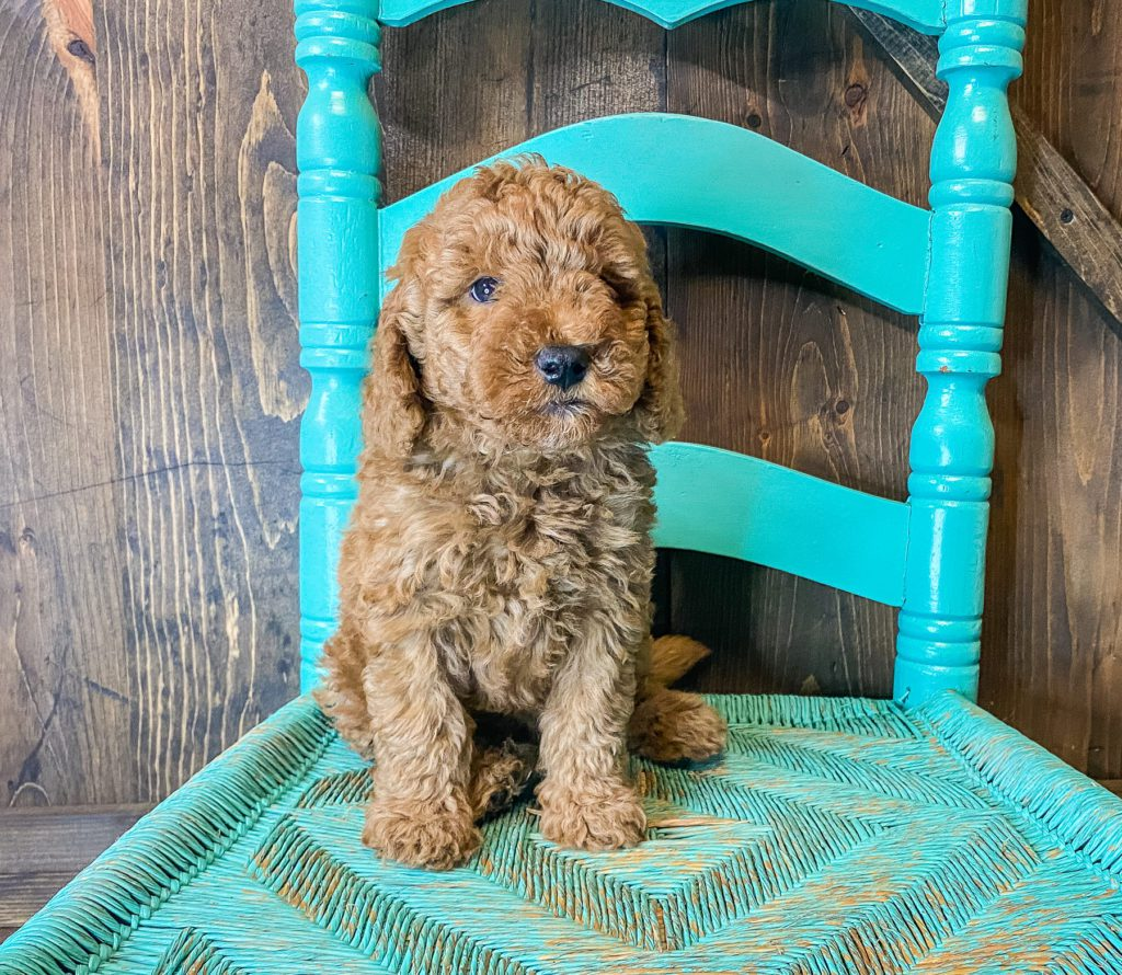 Wilson came from Cora and Toby's litter of F1BB Goldendoodles
