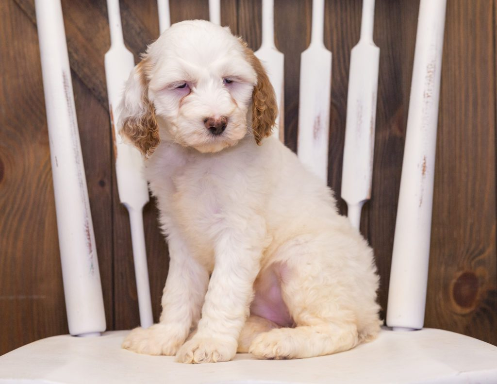 A picture of a Xandra, one of our Standard Goldendoodles puppies that went to their home in Missouri