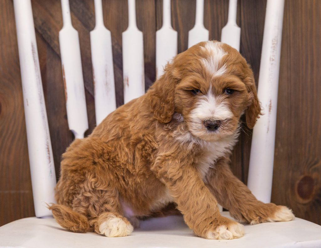 A picture of a Xav, one of our Standard Goldendoodles puppies that went to their home in Nebraska