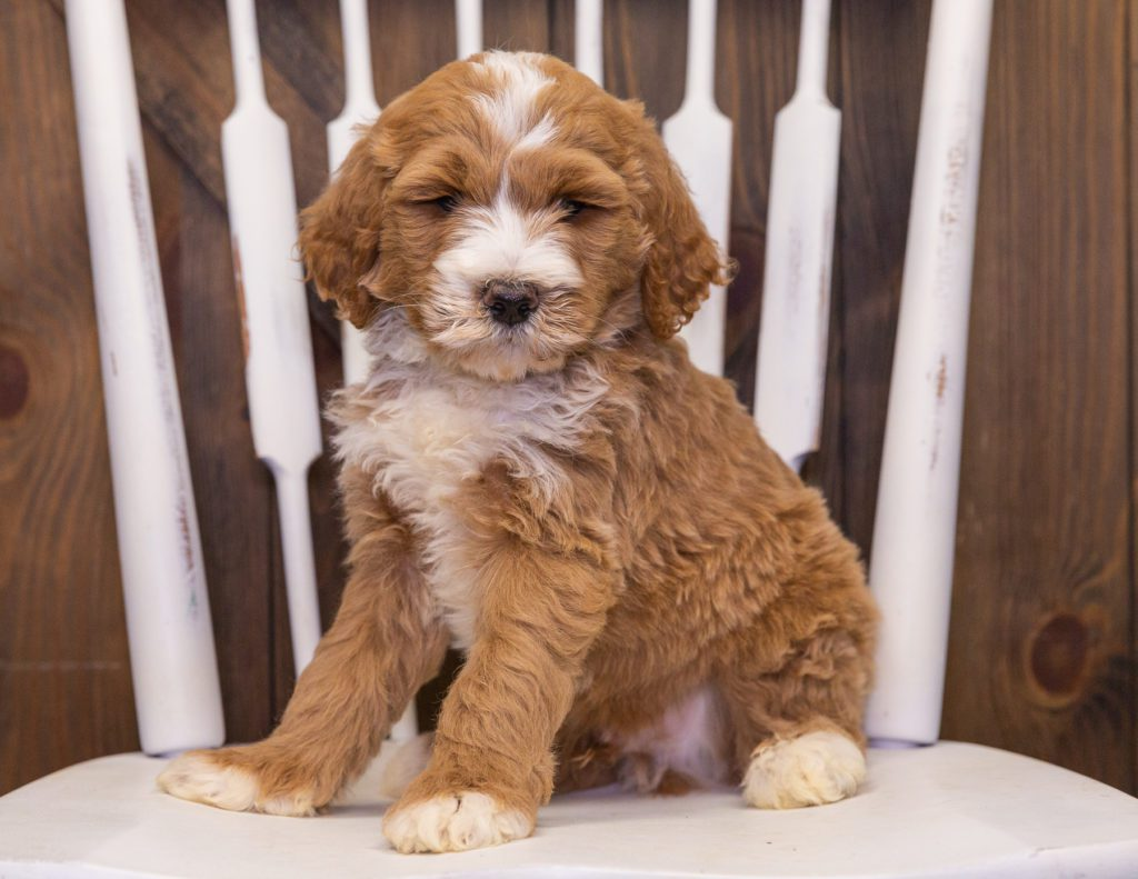 Xav is an F1B Goldendoodle that should have  and is currently living in Nebraska