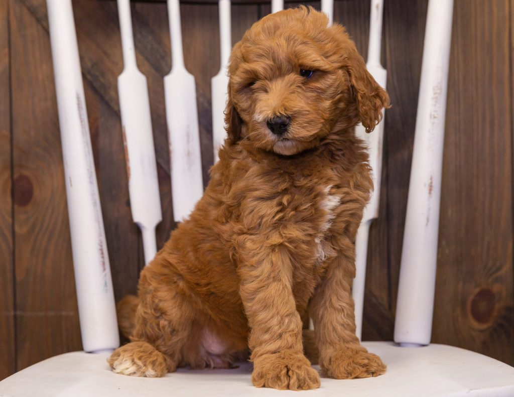 A picture of a Xavia, one of our Standard Goldendoodles puppies that went to their home in Florida