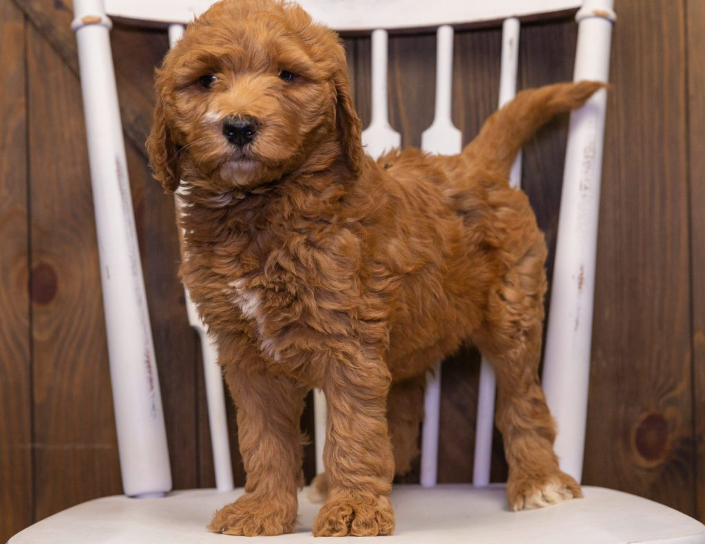 Xavia is an F1B Goldendoodle that should have  and is currently living in Florida