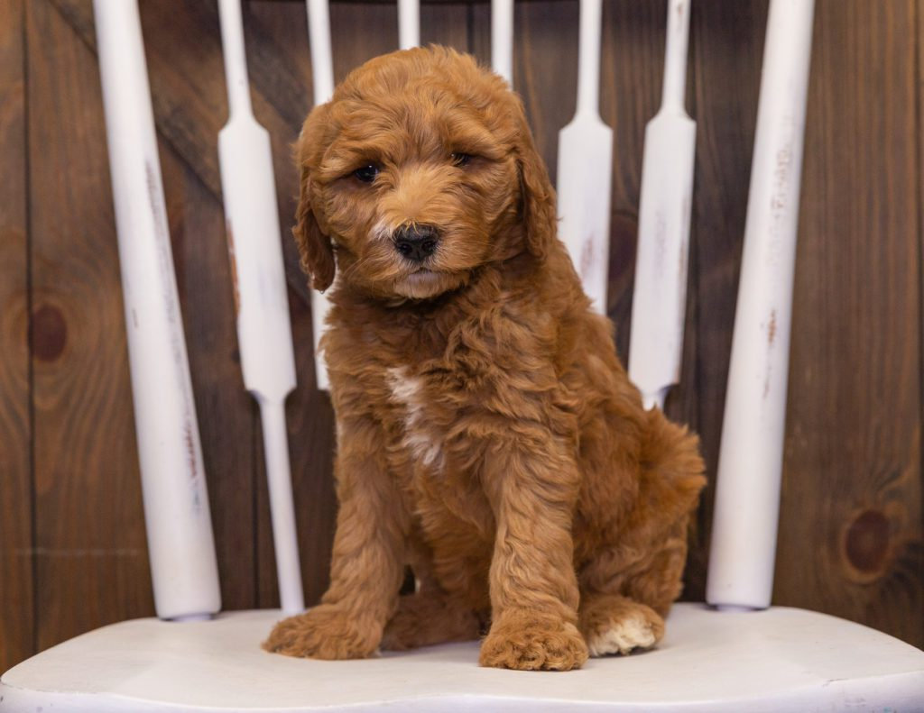 Xavia came from Dallas and Scout's litter of F1B Goldendoodles