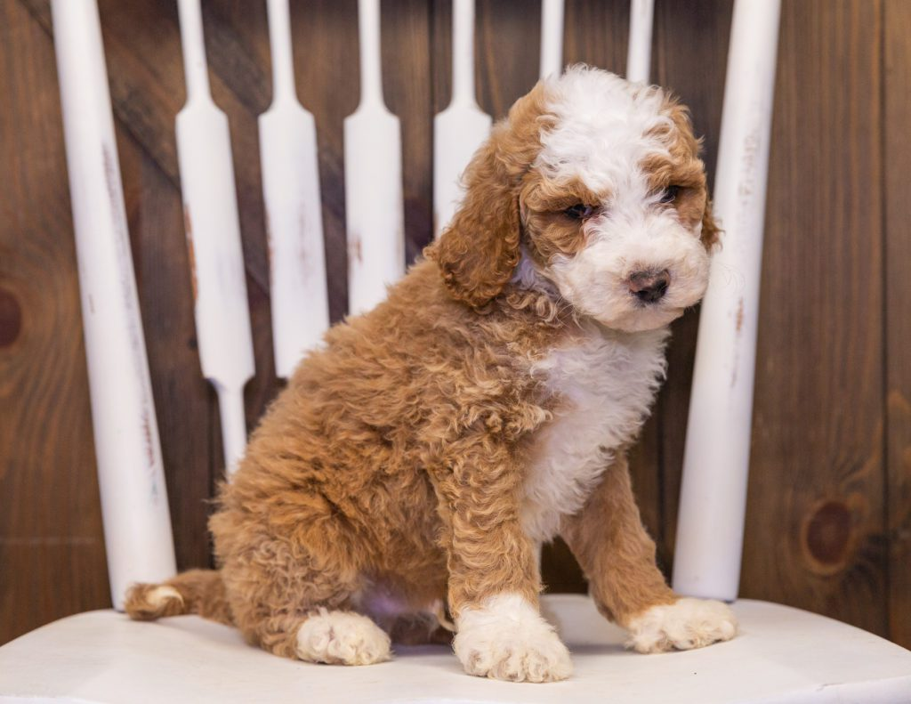 A picture of a Xavier, one of our Standard Goldendoodles puppies that went to their home in California