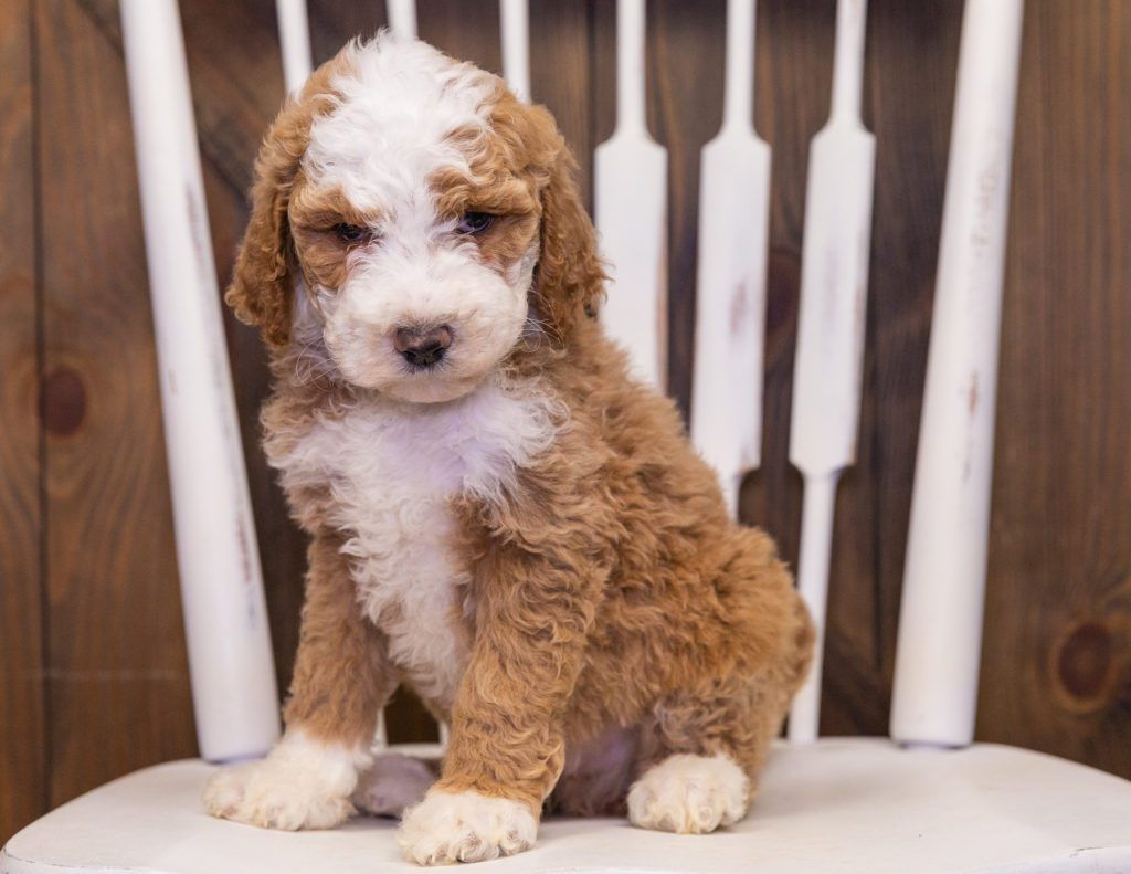 Xavier is an F1B Goldendoodle that should have  and is currently living in California