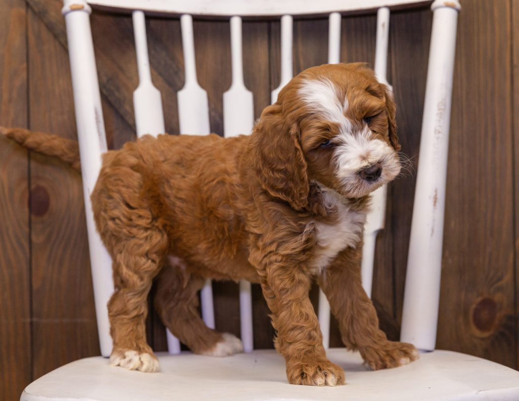 A picture of a Xia, one of our Standard Goldendoodles puppies that went to their home in South Dakota