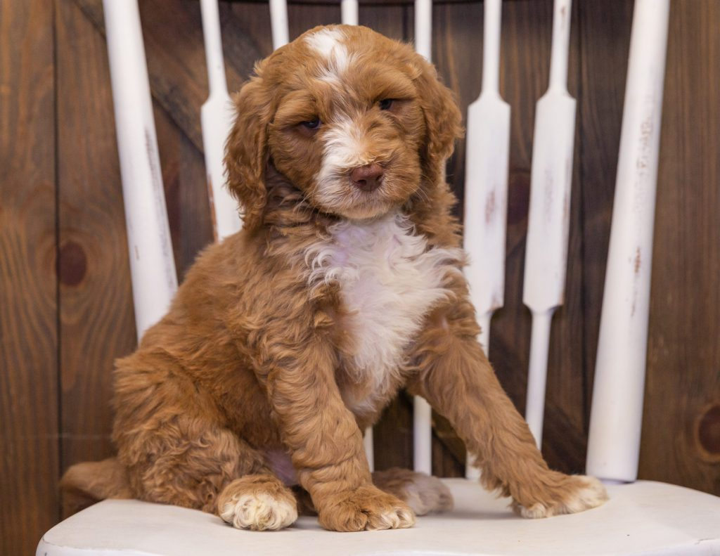 A picture of a Ximo, one of our Standard Goldendoodles puppies that went to their home in Minnesota