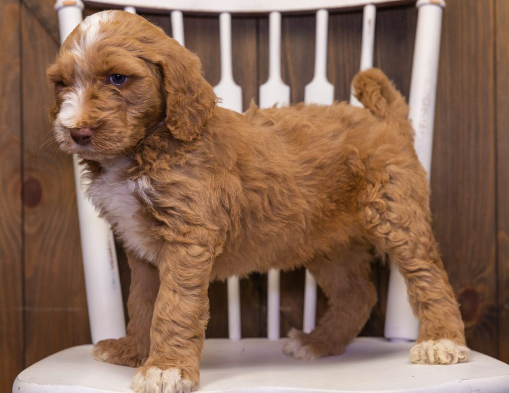 Ximo is an F1B Goldendoodle that should have  and is currently living in Minnesota