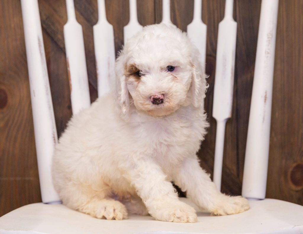 A picture of a Xylon, one of our Standard Goldendoodles for sale