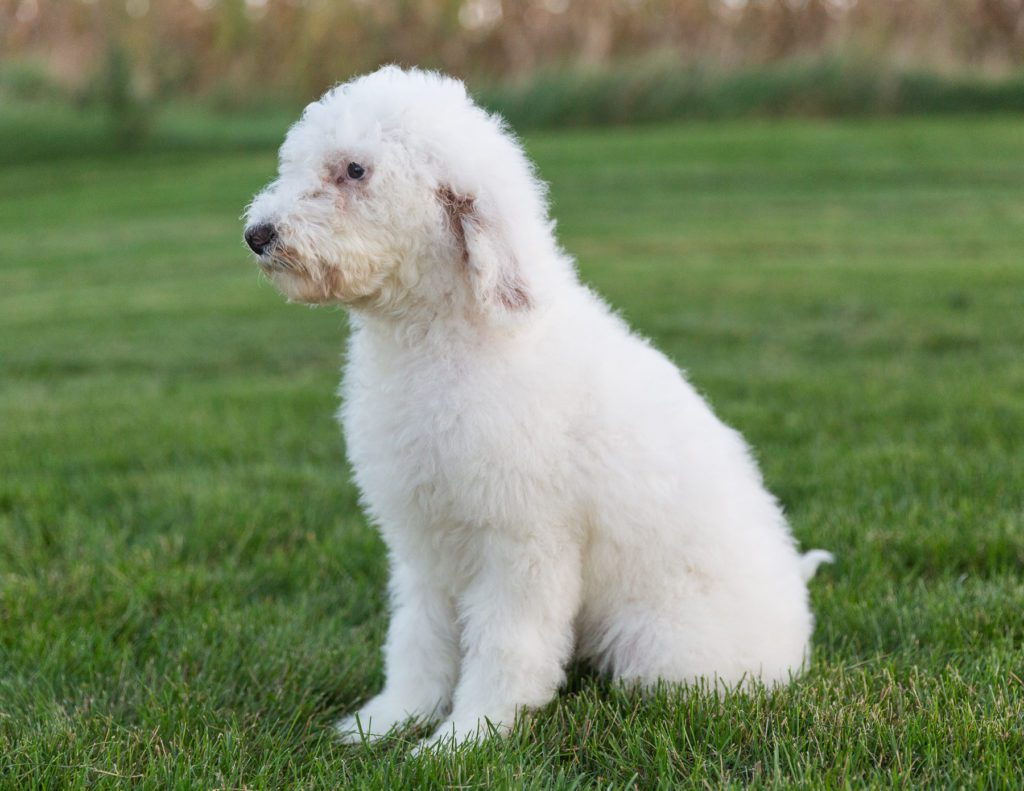 Another great picture of Xylon, a Goldendoodles puppy