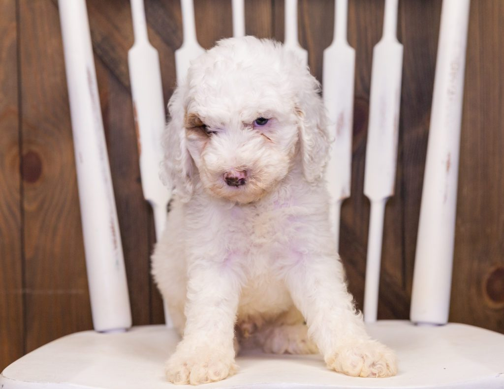 Xylon came from Dallas and Scout's litter of F1B Goldendoodles
