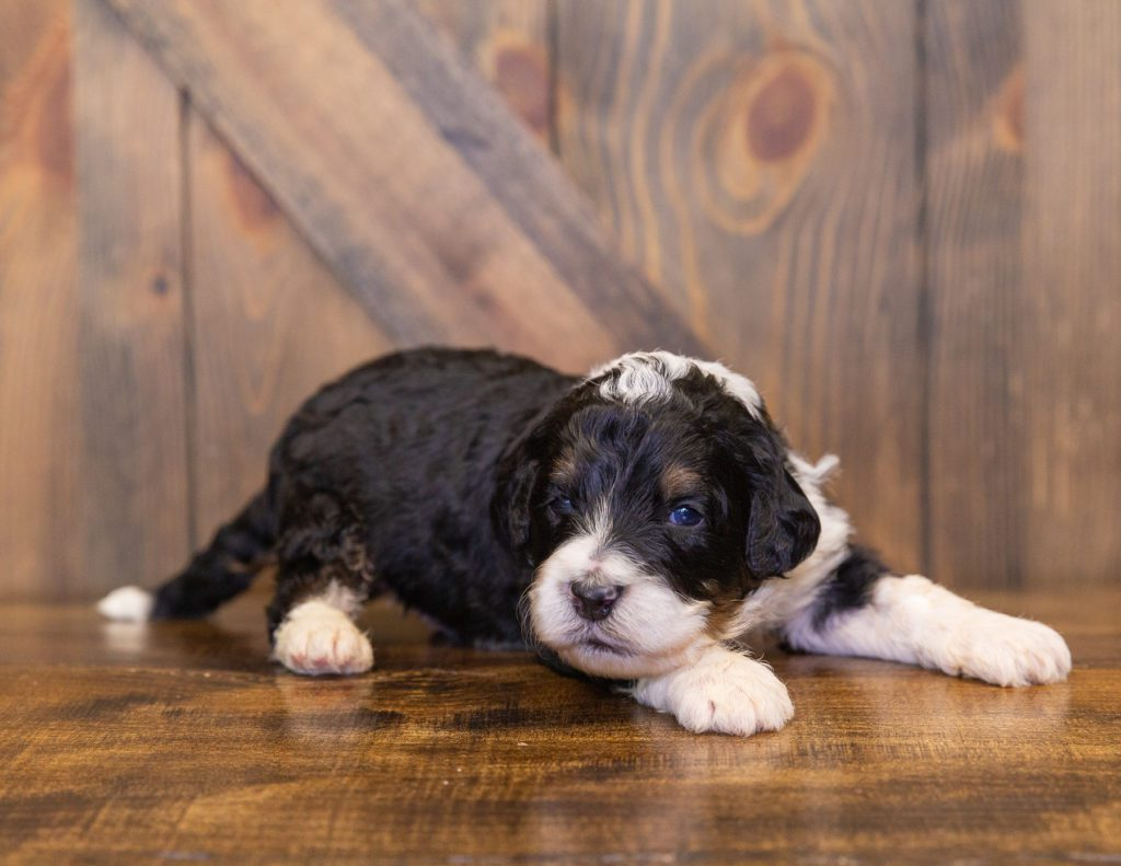 A picture of a Yacco, one of our  Bernedoodles for sale