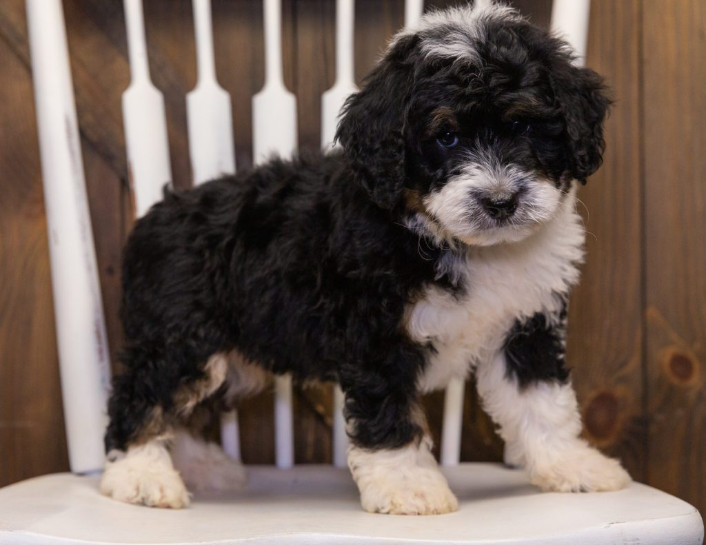 A picture of a Yacco, one of our Mini Bernedoodles puppies that went to their home in South Dakota
