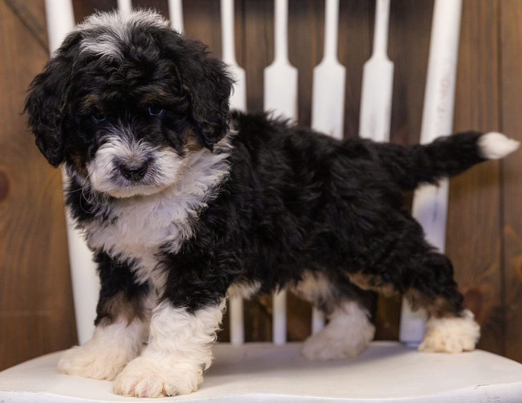 Yacco is an F1 Bernedoodle that should have  and is currently living in South Dakota