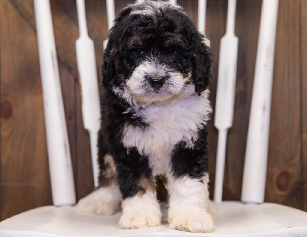 Yacco came from Jersey and Parker's litter of F1 Bernedoodles