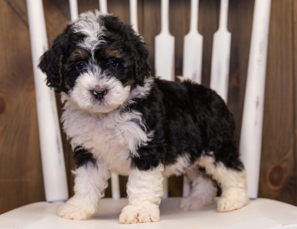 Yani is an F1 Bernedoodle that should have  and is currently living in Indiana