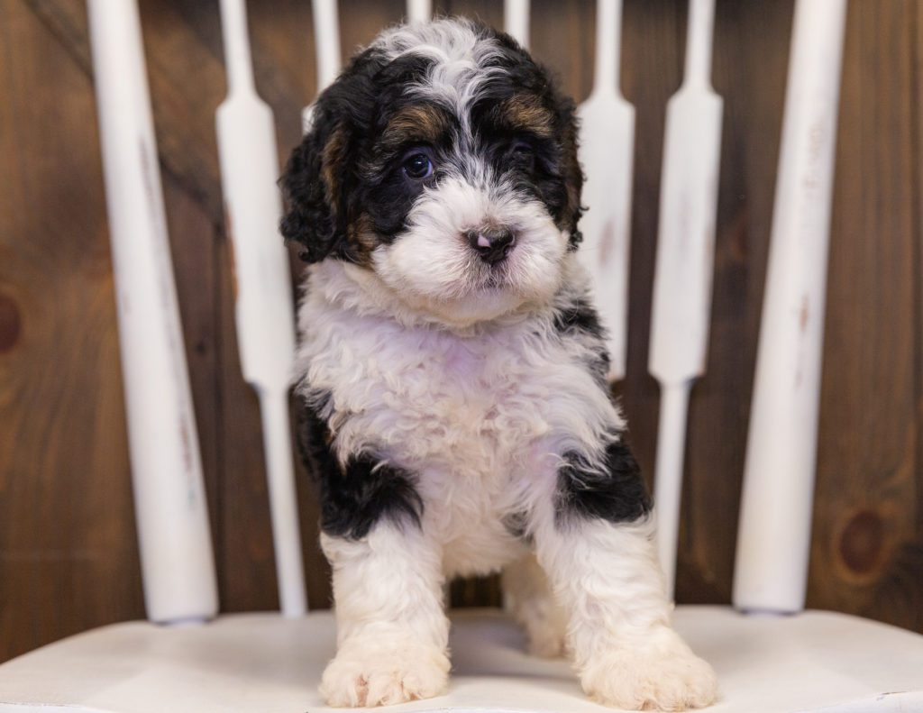 Yani came from Jersey and Parker's litter of F1 Bernedoodles