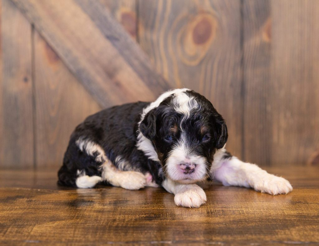 A picture of a Yankee, one of our  Bernedoodles for sale