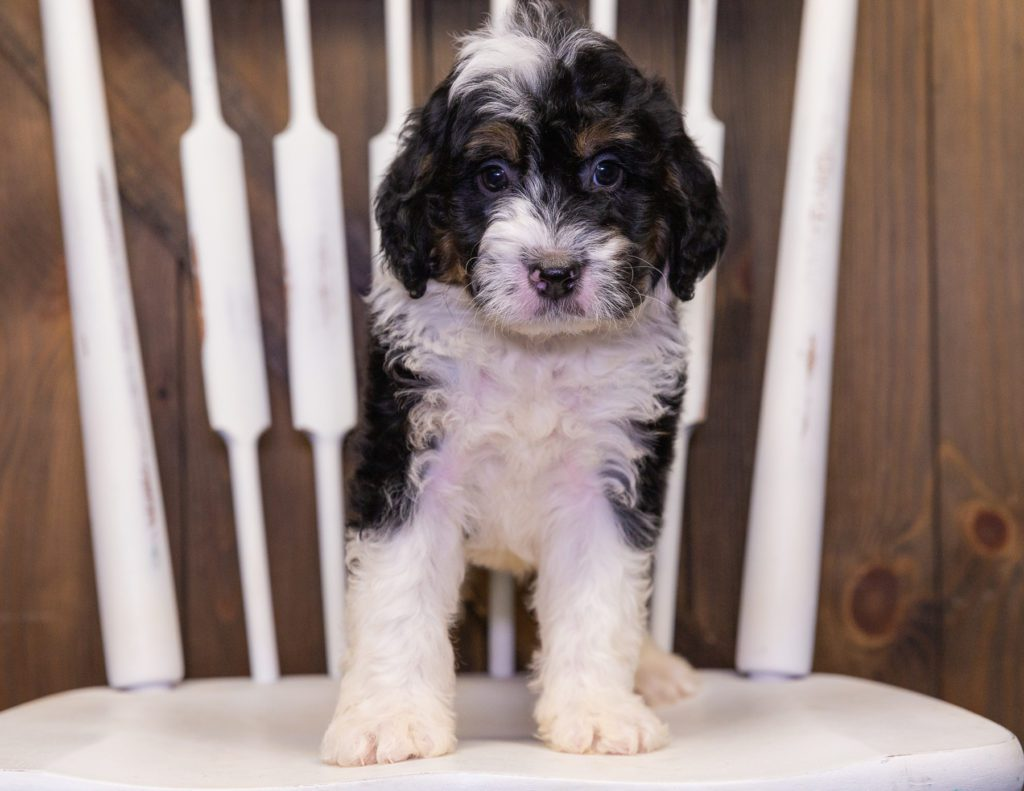 Yankee came from Jersey and Parker's litter of F1 Bernedoodles