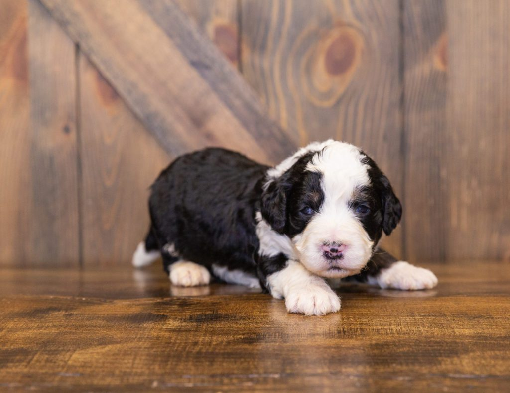 A picture of a Yasko, one of our  Bernedoodles for sale