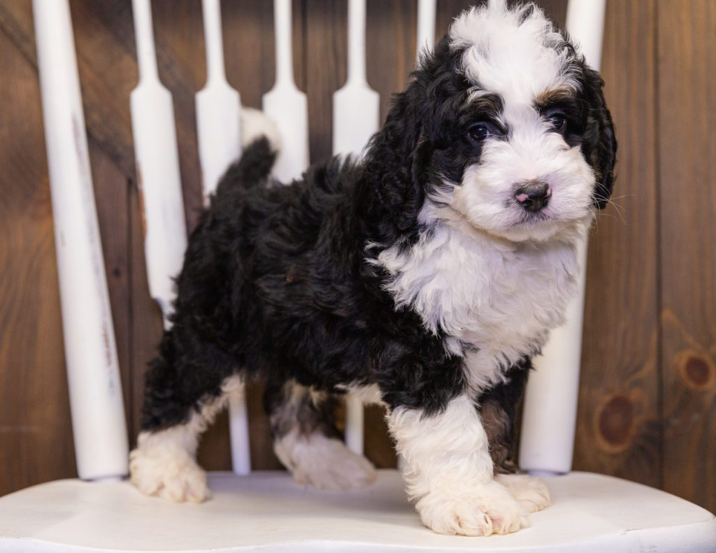 A picture of a Yasko, one of our Mini Bernedoodles puppies that went to their home in Arizona