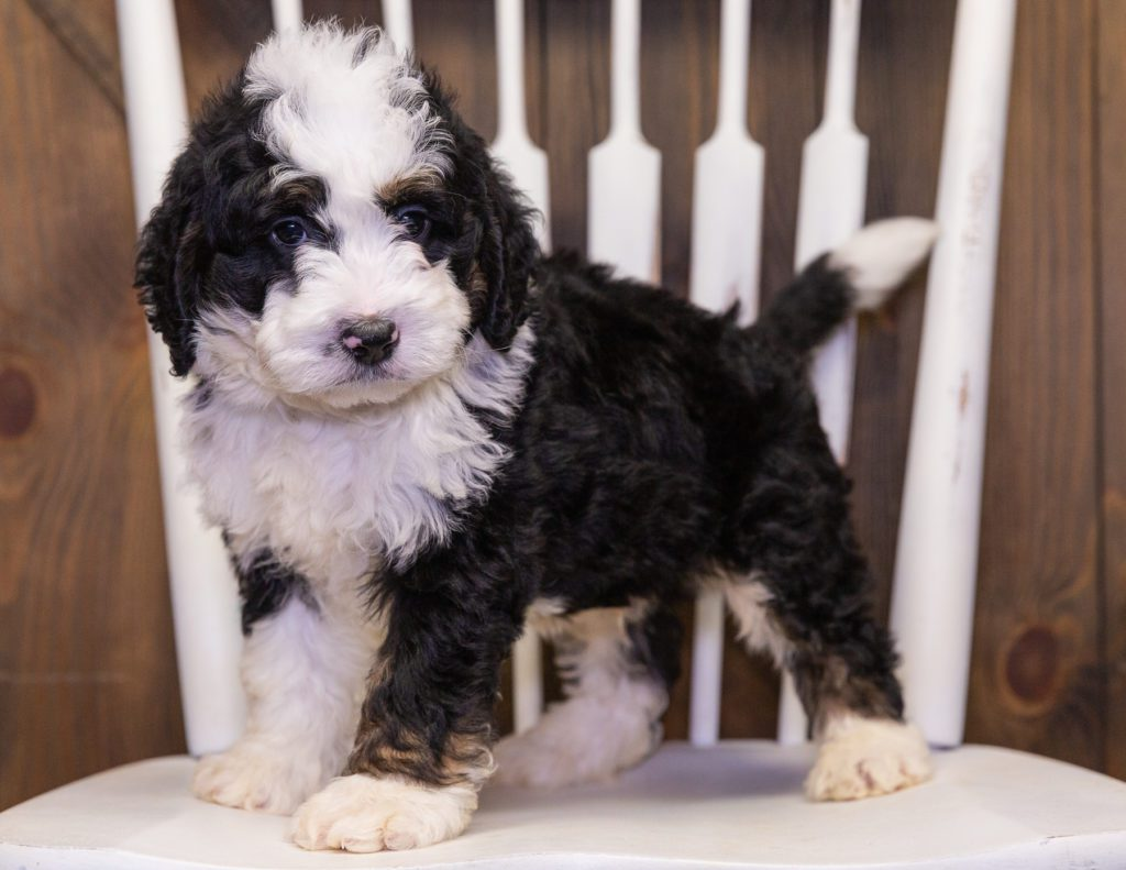 Yasko is an F1 Bernedoodle that should have  and is currently living in Arizona
