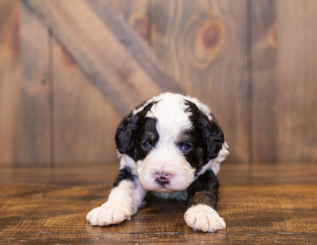 Our cute  Bernedoodles available for sale!