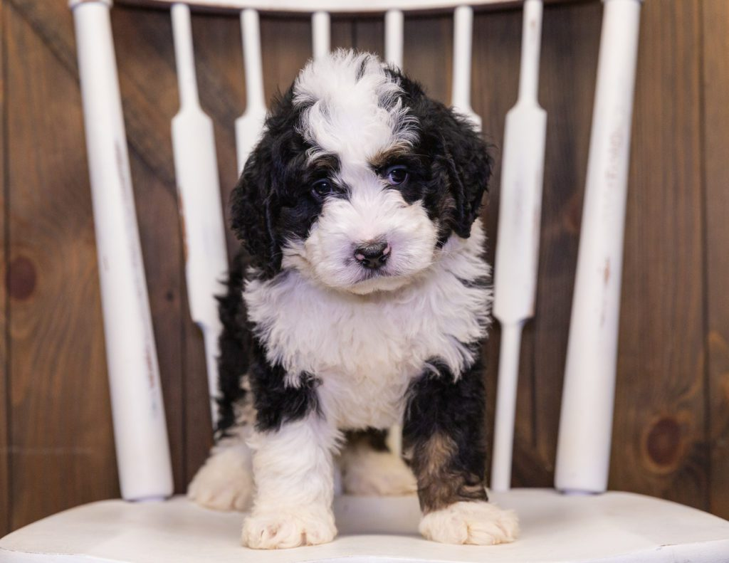 Yasko came from Jersey and Parker's litter of F1 Bernedoodles