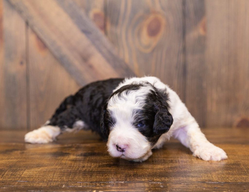 A picture of a Yello, one of our  Bernedoodles for sale