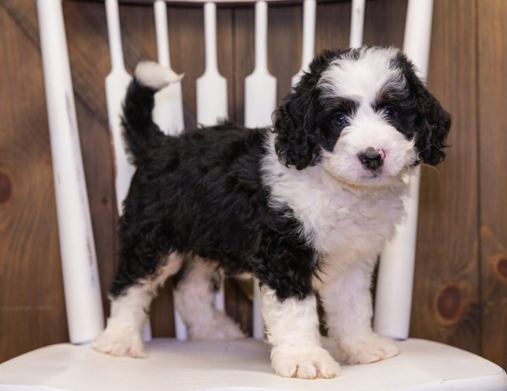 A picture of a Yello, one of our Mini Bernedoodles puppies that went to their home in Nebraska